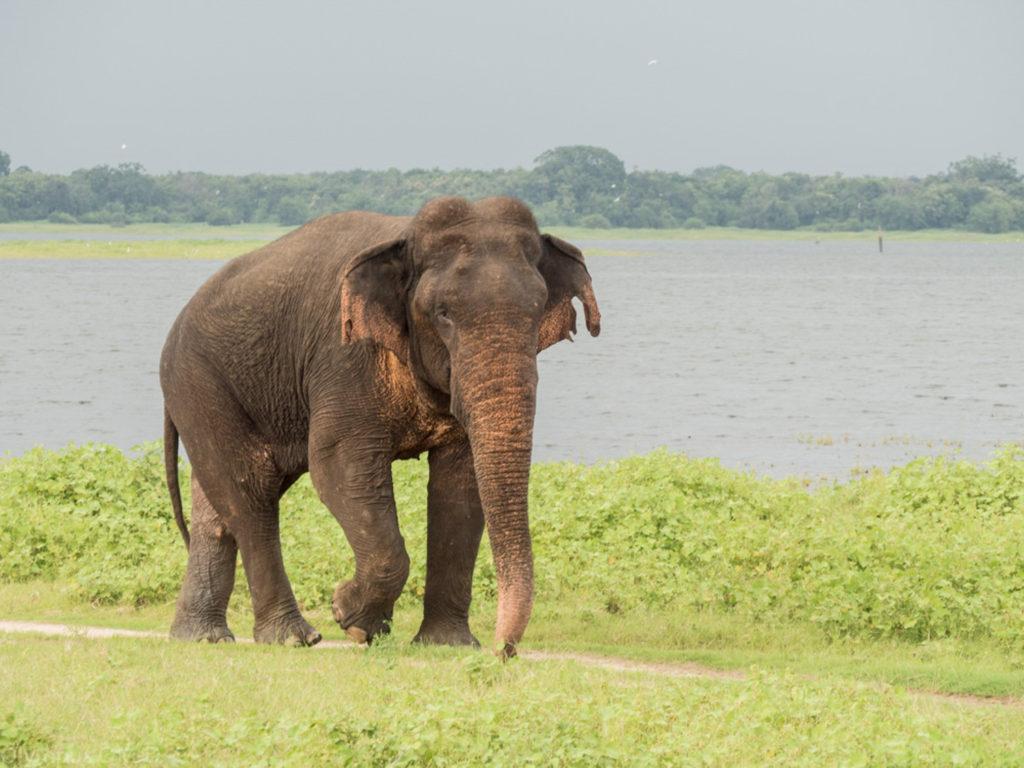 Osamělý samec slona