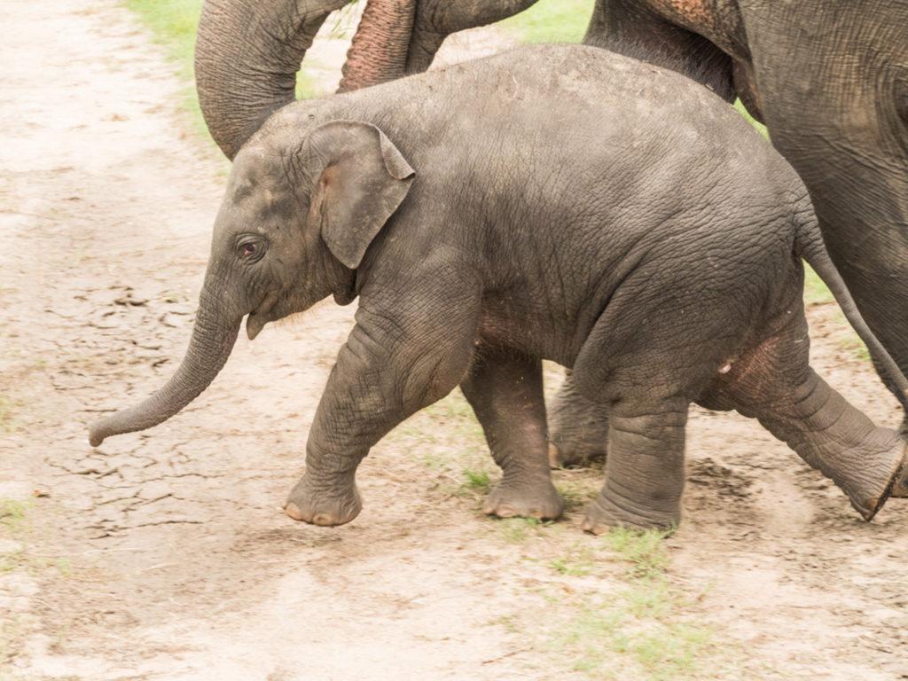 Sloni přivádějí na svět mláďata ve volné přírodě.