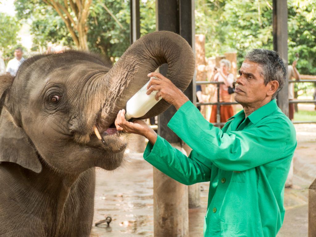 Kojení slonů není úplně jednoduchá věc.