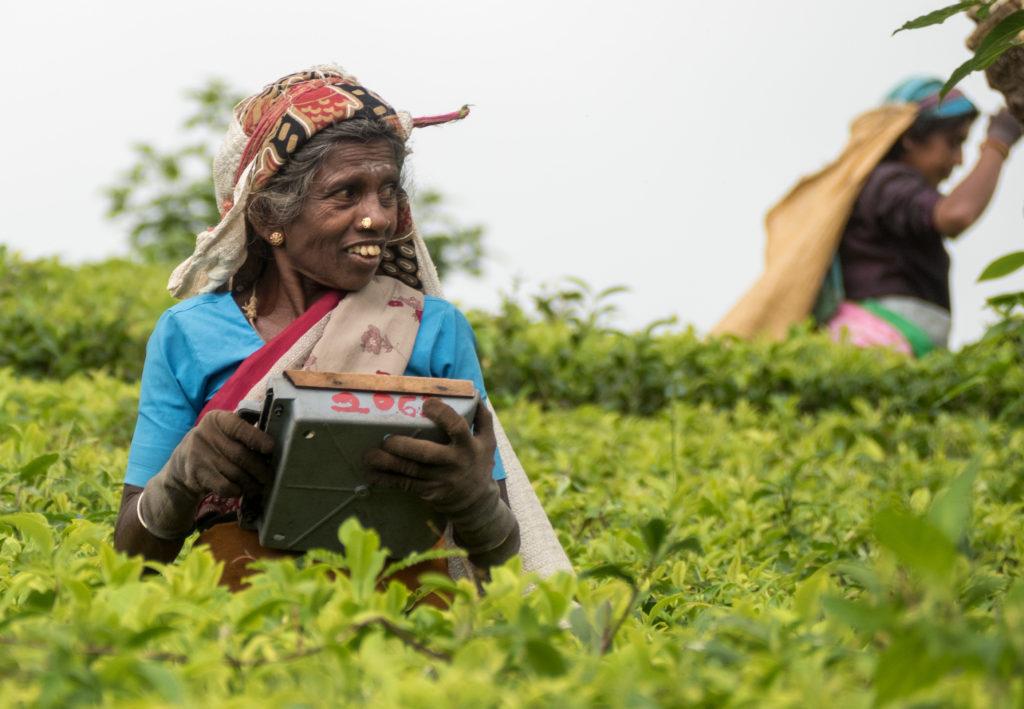 Čajové plantáže jsou plné tamilských sběračů.