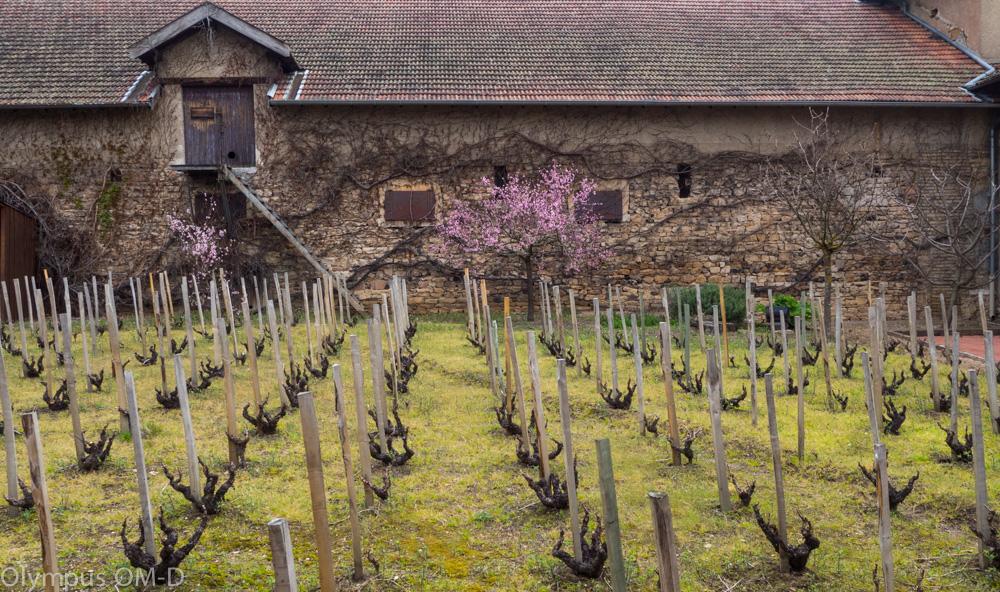 Vinohrad ve dvoře