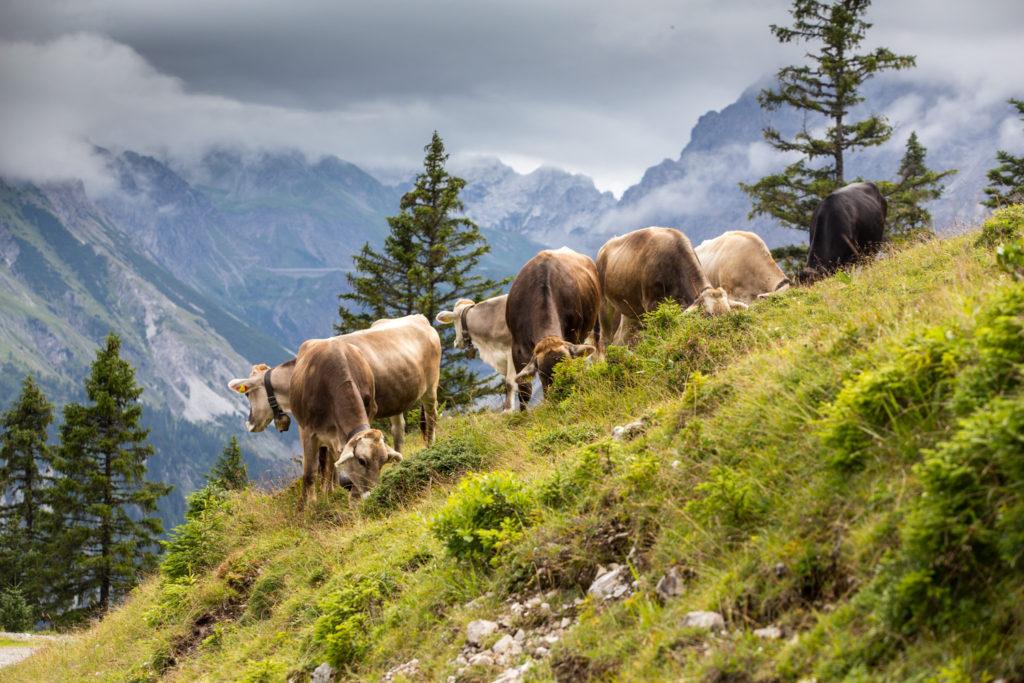 Krávy v Brandertalu.