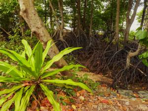 Mangrovy se svým typickým kořenovým systémem. Foto: Eva Janů