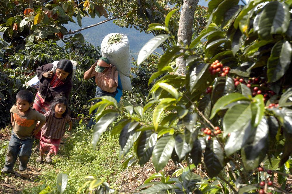 Návrat z kávové plantáže